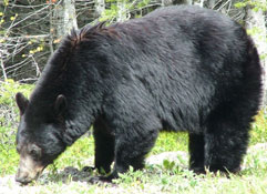 Black Bear Waterton Biosphere