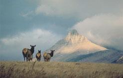Elk - Parks Canada
