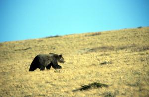 Grizzly Crossing Prairie in Waterton Park