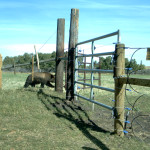 Bear outside of electic fence carnivore project copyright WBRA_2015